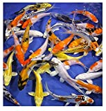 Blue Ridge Live Koi Fish Standard Fin - Garden Pond, Aquarium and Tank,...