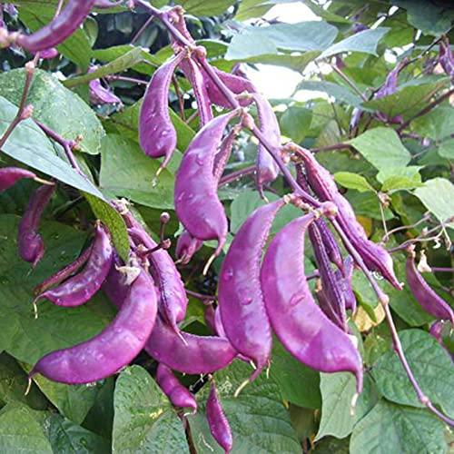 Sonoaud 50 Stück/Beutel Hyazinthe Bohnensamen saftige hohe Keimung lila Labab Purpureus Gemüsesamen für den Bauernhof – Samen