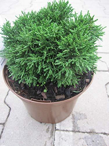 Chamaecyparis lawsoniana Green Globe - Scheinzypresse Green Globe