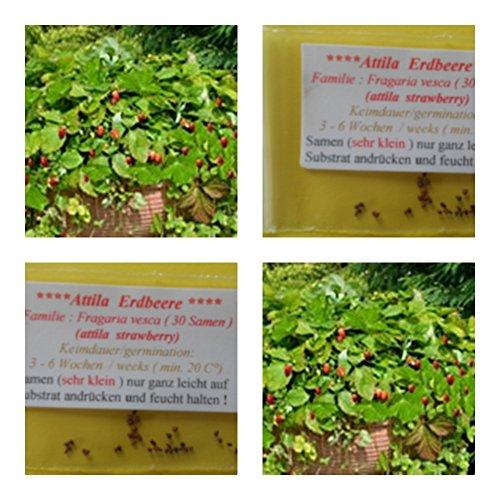 Erdbeere -Attila (ideale Hängeerdbeere) - ca. 30 Samen - aromatischer Geschmack - Rarität !!!