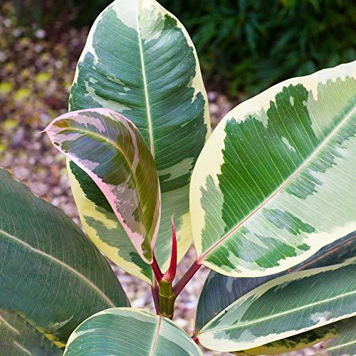 Vibrant Ficus Tineke - Rubber Plant   Best Indoor Plants   30-40cm...