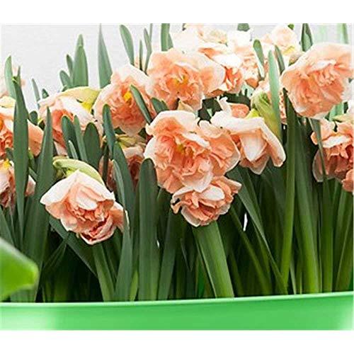Schmetterlings-Narzisse, Edelnarzisse, Narcissus \'Apricot Whirl\', rosa-weiß - 3 Zwiebel im Topf 13 cm vorgetrieben, in Gärtnerqualität von Blumen Eber - 13 cm