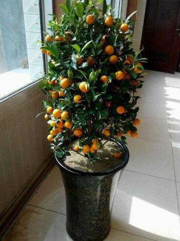 Golden Delicious orange semences Mini Potted arbres fruitiers Graines Bonsai Intéressant planter 50 particules/lot 8