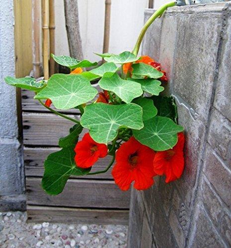 Pinkdose® Pinkdose Blumensamen: Kapuzinerkresse Sukkulenten Art Pflanze Blumensamen Für Korb Kletterpflanze Pflanzen - Dachgarten (15 Packete) Garten Pflanzensamen Von
