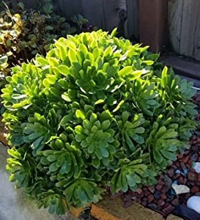 ONE FULL PLANT ( ROOTED ) FRESH Cuttings from Tree Green Aeonium Succulent Indoor Outdoor Plant Hardy