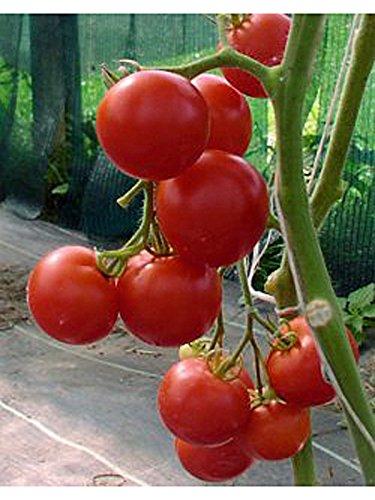 Rote Stabtomate 'Moneymaker' (Solanum lycopersicum) 10 Samen alte Sorte
