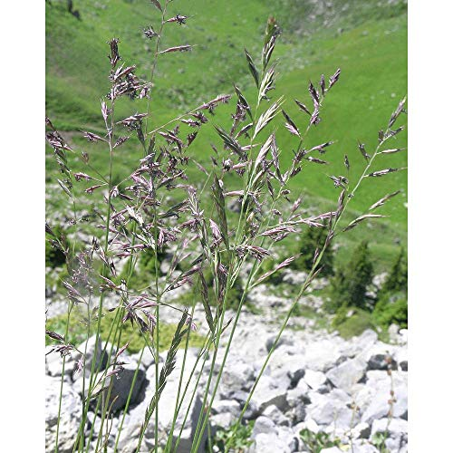 Rotschwingel (Festuca rubra rubra) 20 kg RAFAEL Einzelgras Grassamen