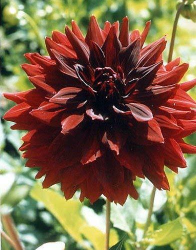 GETSO 2 Stück Black Dahlia Birnen Bonsai Blumen Pflanzen Dahlienknollen Iris Blumenzwiebel Clumps Flores