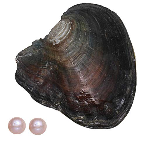 11-12mm Larger Pearl 1Pcs Oysters with 2Pcs Pearl Inside Lucky and Wish Round Shape Pearls Freshwater Cultured (Purple)