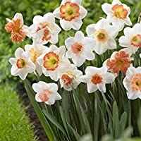 白い水仙球根観賞植物優雅な耐干性ギフト根茎ゴージャス庭の装飾,1 球根