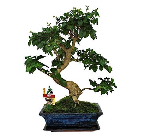 exotenherz - Bonsai Chinesischer Liguster - Ligustrum sinensis - ca. 12-15 Jahre