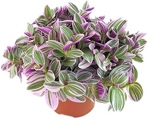 Fangblatt - Tradescantia 'Sweetness' - kleine Dreimasterblume im Ø 12 cm Topf - pflegeleichte Zimmerpflanze zum Hängen