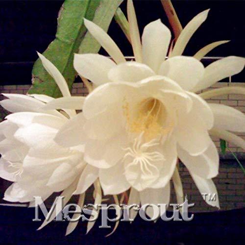 Bloom Green Co. Plántula de flor Bonsai Campanula de 100 piezas Imported Chile Rosea Plant Outdoor & amp; Semillas de jardín de campanillas chilenas de interior Maceta de flores: 11