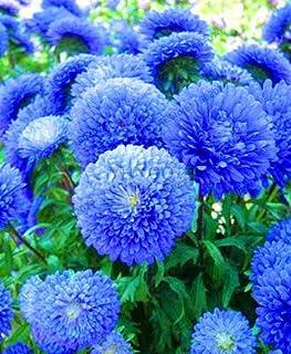 Chili-Schote,FILIUS BLUE Capsicum annuum 25 Samen ~ essbare Zier!