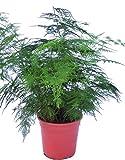 Asparagus Plumosus House Plant in a 13cm Pot. Asparagus Fern