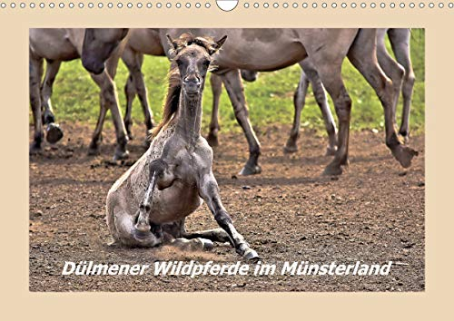 Dülmener Wildpferde im Münsterland (Wandkalender 2021 DIN A3 quer)
