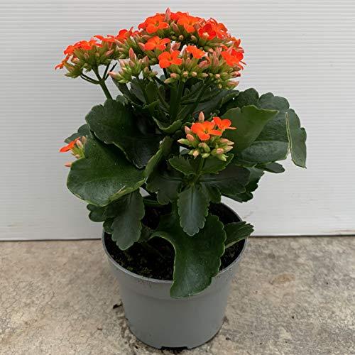 Kalanchoe - PACK 4 unidades. - maceta 10,5cm. - altura total aprox. 20cm. - planta viva - (envíos solo a península)