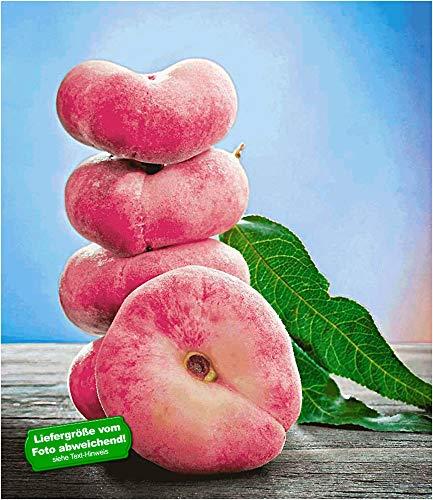 BALDUR Garten Teller-Pfirsich 'PlatiforTWO®',1 Pflanze, Pfirsichbaum, Prunus persica