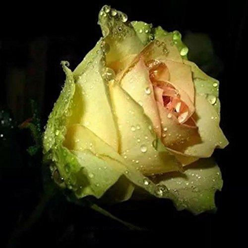 150PCS Rose Flower Seed Hollande Rose Graines amant cadeau arc-25 exotiques RARE couleurs au choix de bricolage pour les plantes de jardin à domicile 6