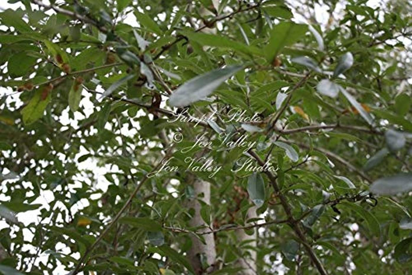 10 Live Oak Tree Seeds Quercus virginiana -Bonsai -Standard- Aged Look -Shade Tree Zones 8-11 Or Grow Seed Sale by yunakesa