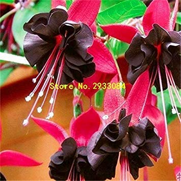 100 Fuchsia Seeds, Bonsai Hanging Flowers F.Alba Coccinnea DIY Planting Flowers White