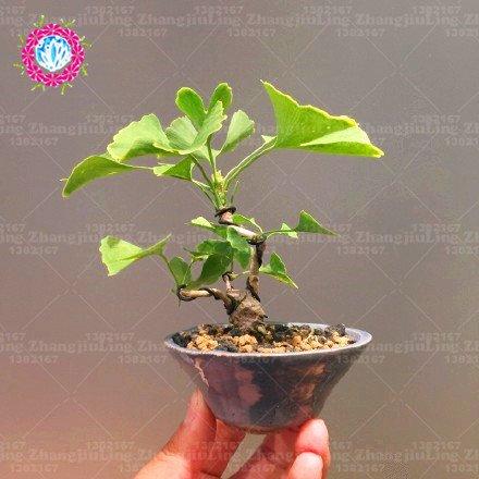 5pcs Mini graines Arbre Maidenhair bonsaï Gingko Biloba Ginkgo Bonsai Graines d'ornement Feuilles Service Pack plante d'intérieur