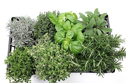 4 Kräuter Pflanzen im Topf Italien Küchenkräuter für Beet Balkon 14 cm Oregano, Basilikum, Salbei, Rosmarin, Thymian, Lavendel, Majoran für die feine Küche zum Kochen + genießen (grün)