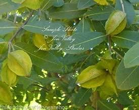 Terminalia arjuna Arjun Tree Koha Seeds Rare Tropical New Harvest! White Flowers 3 Seeds