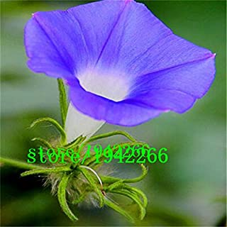 Amazon com: red morning glory seeds