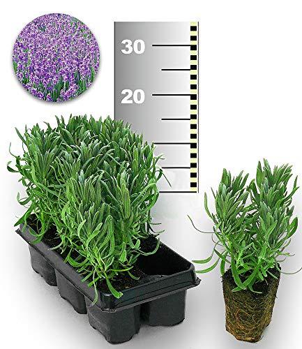 BALDUR-Garten Blauer Duft-Lavendel 25 Stk,25 Pflanzen