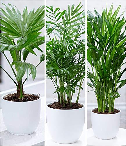 BALDUR-Garten Zimmerpalmen-Set, 3 Pflanzen je 1 Pflanze Palme 'Livistona Rotundifolia', 1 Chamaedorea Palme und 1 Areca Palme