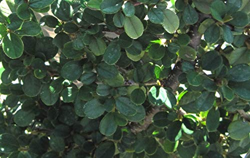 Cotoneaster dammeri Frieders Evergreen - Teppichmispel Frieders Evergreen - Zwergmispel - Kriechmispel - immergrün - Preis nach Stückzahl Einzelpreis