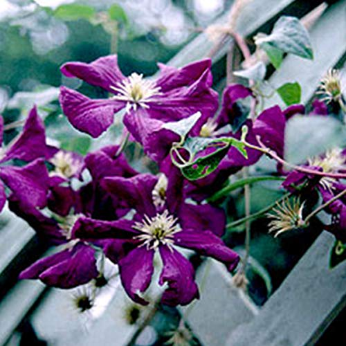 Clematis 'Etoile Violette' - Waldrebe 50-60 cm Pflanzcontainer