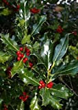 TROPICA - Pungitopo maggiore (Ilex aquifolium) - 30 Semi- Magic tropical