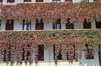 Mélanger Boston Seeds 100% vrai Parthenocissus tricuspidata semences Plantes d'extérieur QUASIMENT soins décoratifs Escalade usine 100 Pcs 9