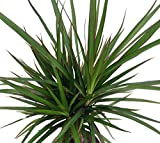 Madagascar Dragon Tree - Dracaena marginata - 4' Pot - Easy to Grow...