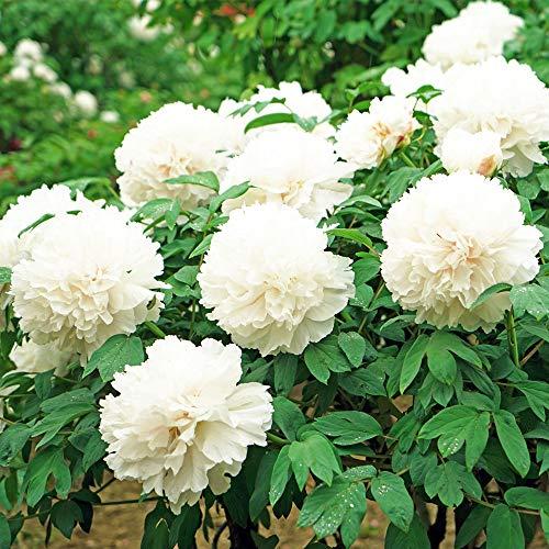 White Peony Seeds 20pcs (Paeonia suffruticosa) Oganic Premium Fragrance Perennial Flower Seeds for Planting Garden Indoor Yard