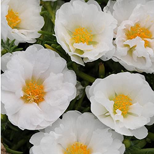 Fuduoduo Semillas EcolóGicas AromáTicas,Semilla de Flor de Sol de Aleta Pesada de Planta fácil de Vivir-Blanco_40000PCS,Perenne Resistente Semillas