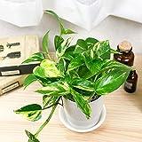 観葉植物 ポトス ゴールデン 4号鉢 受け皿付き 育て方説明書付き Epipremnum pinnatum 'Aureum' エピプレムナム