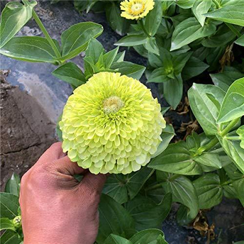 XINDUO Blumensamen winterhart mehrjährig,Four Seasons Gartenpflanze Zinnia Flower Seed-Green_1000 Kapseln,Blumensamen für Garten Balkon
