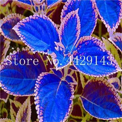 Elitely Coleus Seed Semillas de follaje hermoso Arco iris perfecto Fácil de cultivar Diy Home Garden- 45 piezas para: 3
