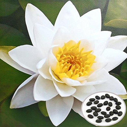 MaMaison007 10pcs Blanco Bol Loto Semillas jardín Plantas acuáticas