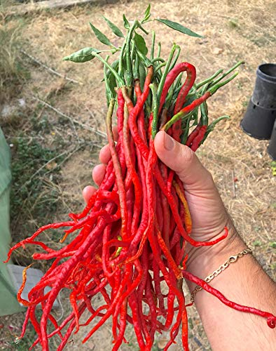 10 PURE GRAINES de le Piment THUNDER MOUNTAINS LONGHORN CHILI PEPPER: Le plus long, curieux et beau Piment du Monde
