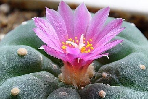 Lophophora fricii - Peyote - San Pedro - 10 Samen