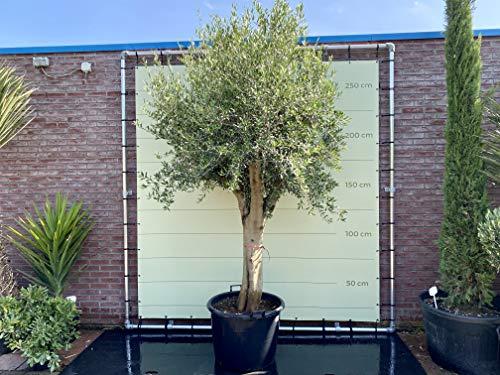 Olivenbaum - Olea europea - 270 cm - dicker Stamm 50/60 cm Umfang - Winterhart