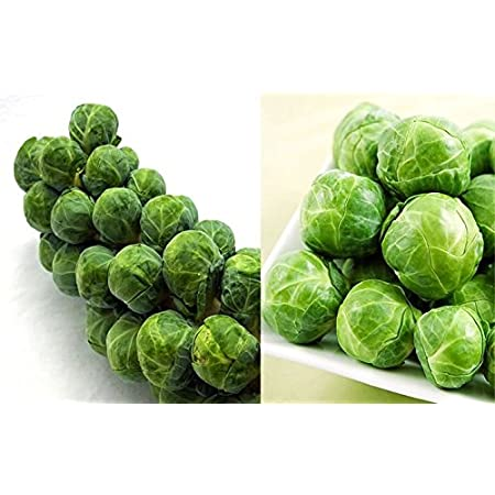100//1000 Seeds Cabbage Brussels Short Early growing prolifique