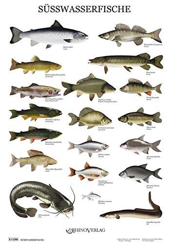 Rhino Verlag Süßwasserfische - Poster