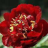 Keland Garten - Selten 20 Stück Paeonia suffruticosa Strauch-Pfingstrose Samen duftend, Päonien Farb-Mix geeignet für Ihr Garten, Balkon, Terassen
