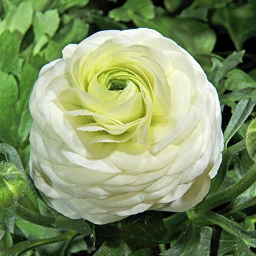 AIMADO Samen-Rarität 50 Pcs Ranunkel Blumensamen mehrjährig winterhart Weiß Blumen Topf Bonsai Saatgut gut als Schnittblume geeignet