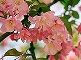 flowerbegonia seeds 40+ fiore rosa facile da coltivare per giardino bonsai da esterno per interni